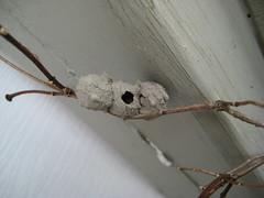 Bug Row House (jjp178) Tags: house bug insect nest explore abode potterwasp explored jjp178