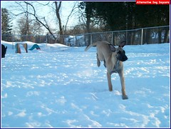 Ginger galloping! (Alternative Dog Daycare) Tags: ginger molly charlie rosco louie monty hurley doggiedaycare alternativedogdaycare