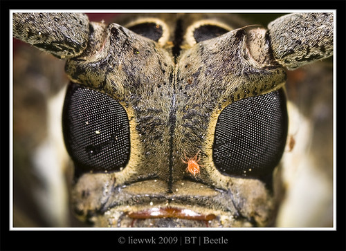 2.3 Long Horned Beetle ... closer ...