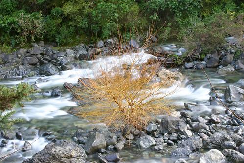 Hackett River Willow
