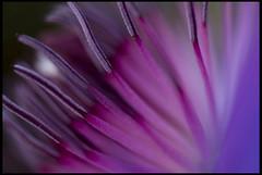 Clematis (Revere J) Tags: macro purple clematis d200 nikkor