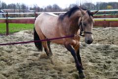 Action! (Donkeyzzjehluvertjehzz) Tags: horse caballo cheval pony ponies pferde cavallo cavalo canter gallop chevaux paard ponys poney teke akhal akhalteke cabalo