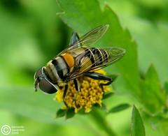 hoverfly (José Bernardo) Tags: ecuador santaana mosca hoverfly potofgold manabí sirfida