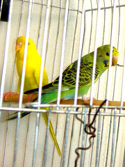 Cotorras australianas (elisa.harvey) Tags: aves pajaros verdes cotorra australiana loros amarillos melopcitacus hondullatus