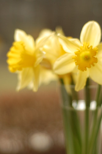 Daffodils from Canadian Cancer Society