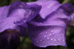giaggiolo (patrizia_ferri) Tags: flowers iris flores primavera rain fleurs garden fiori pioggia giardino gocce giaggiolo bej iridacee patriziaferri