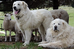 Two livestock guardian dogs