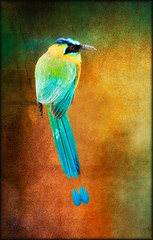 """ Blue-crowned Motmot"" (Alfredo11) Tags: blue orange black colour verde green eye colors yellow azul ojo wings costarica background beak feathers aves colores amarillo pajaros pico alas alfredo tones naranja fondo plumage plumas birs sb800 tonos plumaje nikoncreativelightingsystem nikon80400mm sb900 nikond300"