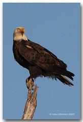 Sunset Eagle (greg obierek) Tags: canon searchthebest eagle baldeagle naturallight raptor l delaware haliaeetusleucocephalus birdofprey naturesfinest specanimal ef100400mm platinumphoto flickrdiamond eos40d bombayhooknwr