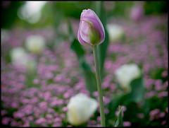 Bruselas XCVII (mgarsan) Tags: flores flower primavera spring olympus printemps uro