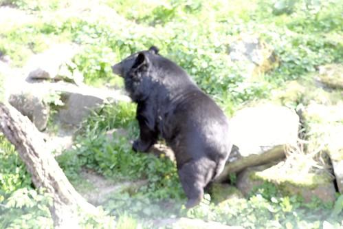 Himalayan Black Bear by you.