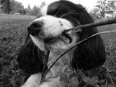 Al lavoro (ALMartino Fiero del mio sognare) Tags: parco dog nature animal cane work bl