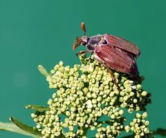 Maikäfer (motivsucher) Tags: macro bug spring mygarden makro springtime käfer frühling maikäfer maybug 70400mm vosplusbellesphotos sal70400g