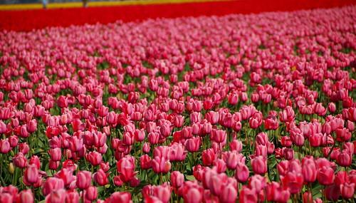 Skagit Tulip Festival 2009