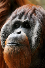 Pensive... (Tambako the Jaguar) Tags: shadow red portrait closeup dark mammal zoo monkey switzerland nikon basel explore orangutan ape primate orang utan basle zolli d300 vosplusbellesphotos