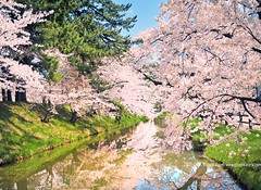 Sakura Moat (Hirosaki Japan).  Glenn Waters. (Explored)  2,200 visits to this image.   Thank you. (Glenn Waters in Japan.) Tags: japan nikon explore  getty sakura cherryblossoms hirosaki moat     explored   nikond700  glennwaters nikkor2470mmf28gedafs