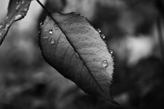 Gotas en el filo de la hoja - Drops on the edge of the leaf (Dani_vr) Tags: bw en espaa white black hoja byn blanco