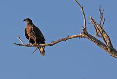 Golden Eagle (michaelmatusinec) Tags: wi peshtigo digitalcameraclub canoneos40d spring2009 eagleorhawk wifdlifeareapeshtigo