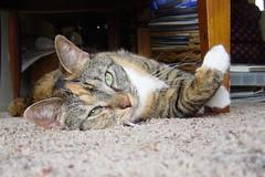 Gracie 25 May 2009 006b (edgarandron - Busy!) Tags: cats cute cat gracie feline tabby kitty tortoiseshell kitties tortie torbie