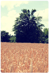 Wheat Field - The Tree (Brandon Christopher Warren) Tags: blue sky plants brown tree green field clouds canon vintage wheat tan tall rockymount 70200mm isusm brandonwarren canon5dmarkii eos5dmarkii