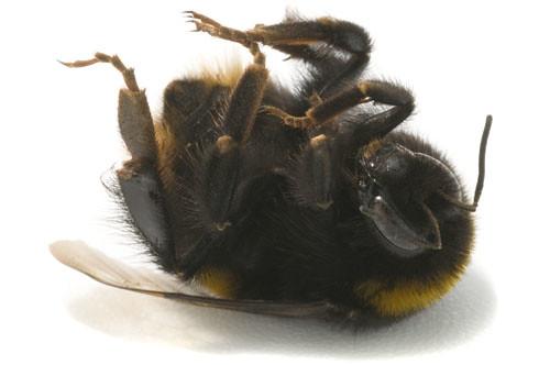 dead bumblebee