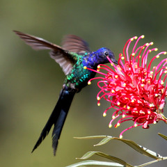 Beija-flor Tesoura - Swallow-tailed Hummingbird (Eupetomena macroura) (claudio.marcio2) Tags: bird nature wildlife natureza pssaro aves birdwatching breathtaking oiseaux birdwatcher naturesfinest thebigone allyouneedislove supershot birdsbirdsbirds natureplus mywinners abigfave godnature shieldofexcellence anawesomeshot impressedbeauty aclassgroup nationalgeographicareyougoodenough crystalaward photosandcalendar frhwofavs citritgroup prettynaturephotos naturewatcher onlynatureaward concordians goldsealofquality theworldsbestnaturewildlifeandmacrophotography betterthangood everydayissunday theperfectphotographer avianphotograph natureislovely photossansfrontires spiritofphotography birdsinsideandoutside atravsdaminhalentethroughmylens stunningplanetearth feathersbeaksbirds salveanatureza photosofqualitytosmileabout allthosebirds worldnaturewildlifecloseup photographersgonewild vosplusbellesphotos thewonderfulworldofbirds naturegreenstar naturescreations ~newenvyofflickr~ dragonflyawardsgroup saariysqualitypictures animalflowerscloseups enlaarmniaconlanaturaleza