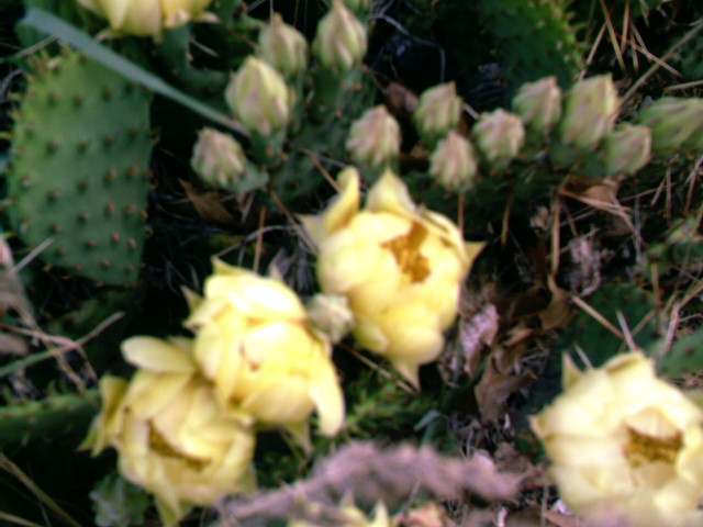 Cactus flowers and buds ii