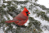 Cardinal In Snow 8509 (Steve Byland) Tags: wild snow tree bird nature birds animal pine fauna branch cardinal wildlife wing feathers needles spruce avian songbird cardinalis northerncardinal