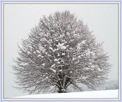 "SNOW TREE (Bill Liao) Tags: leica light snow storm tree art digital switzerland bill 500v20f photos australian noctilux liao appenzell rd1 billliao bestwork set"" worthabrowse bwbliao pfosilver ""framed"