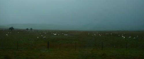 4 of 12: Poor Sheep!