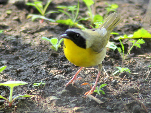 Common Yellowthroat 20110512