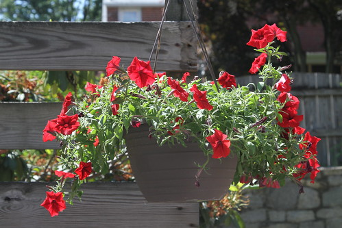 Petunias in a Hanging Basket