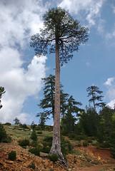 Pine Tree Valia Calda (Zopidis Lefteris) Tags: tree pine hellas greece macedonia allrightsreserved calda valia heliograph lefteris eleftherios ελλάδα heliography zop φωτογραφία zopidis zopidislefteris eleutherios leyteris salonicagroup ελλάσ μακεδονία ζωπίδησ ελευθέριοσ λευτέρησ ζωπίδησλευτέρησ φωτογραφίεσ eleytherios λεφτέρησ ηλιογραφία heliograpygroup γκρούπηλιογραφία ζοπ ζωπ photographerczopidislefteris φωτογράφοσcζωπίδησλευτέρησ heliographygroup heliographygroupmember photographerzopidislefteris φωτογράφοσζωπίδησλευτέρησ photographerzopidislefterisc φωτογράφοσζωπίδησλευτέρησc λευθέρησ allphotosarecopyrightedbyzopidislefteris φωτογραφοσζωπιδησλευτερησ τοcopyrightολωντωνφωτογραφιωνανηκειστονζωπιδηλευτερη απαγορευεταιηχρησητωνφωτογραφιωνχωριστηναδειατουδημιουργου