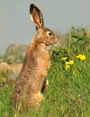 Rabbit on its haunches (wolfpix) Tags: rabbit nikon hare konijn conejo rabbits soe lapin hase kaninchen jackrabbits hasen jackrabbit hares  hazen kanin  lebre blacktailedjackrabbit livre lepri liebre nikond60