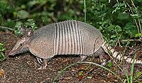 image of armadillo