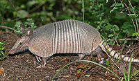 Image of armadillo