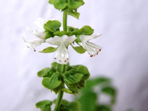 albaca florecida