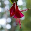 just hanging around (kubse) Tags: california trip music plant flower colour green nature garden losangeles concert makro mehta worldtour vpo colourartaward artlegacy awesomeblossoms afsnikkor1685