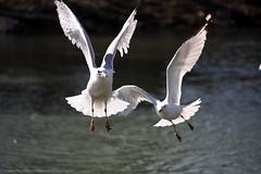 seagull-008 (ShutterBugStroll) Tags: pictures ny bird water creek canon photography flying pics seagull feedingthebirds buffalony digitalphotography skyrats westernny digitalphotographer 10millionphotos buffaloexplorers shutterbugstrollcom wnyshutterbug