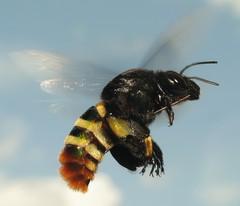 large Orchid Bee (Sean McCann (ibycter.com)) Tags: pop bee hymenoptera apoidea raynoxdcr250 euglossinae eufrieseaornata