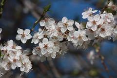 Enfin ... printemps (*Bu*) Tags: paris france flower fleur spring printemps hoa