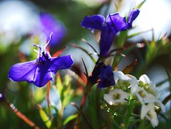 Lobelia and Alyssum (Night Reader Bev) Tags: flowers blue macro closeup bokeh lobelia alyssum