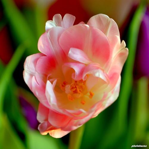 Tulip Pink Flowers