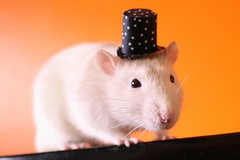 Schroeder's top-hat (Honey Pie!) Tags: cute rat explore polkadots bolinhas tophat fofo schroeder topper gettyimage cartola ratazana explored encantados facyrat cartoladebolinhas