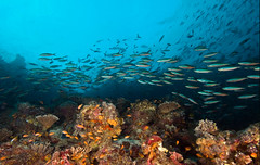 reefschool2126pcw (gerb) Tags: ocean school fish beautiful topv111 coral topv333 underwater scuba 1224mmf4g d200 reef maldives tvp anthias aquatica
