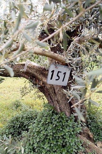 olive-tree-jerica
