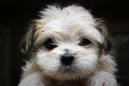 Maltese-Shihtzu puppy after first bath