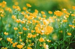 (honey power) Tags: film 35mm minolta kodak 400 x700 ultramax