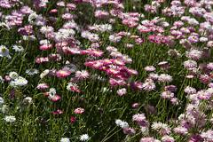 Native everlasting daisies (oz_lightning) Tags: garden australia canberra botany asteraceae act canonef24105mmf4lisusm anbg