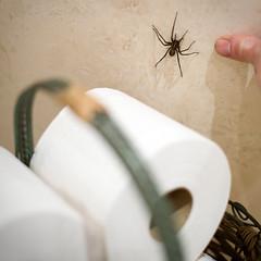 Toilet Roll Spider